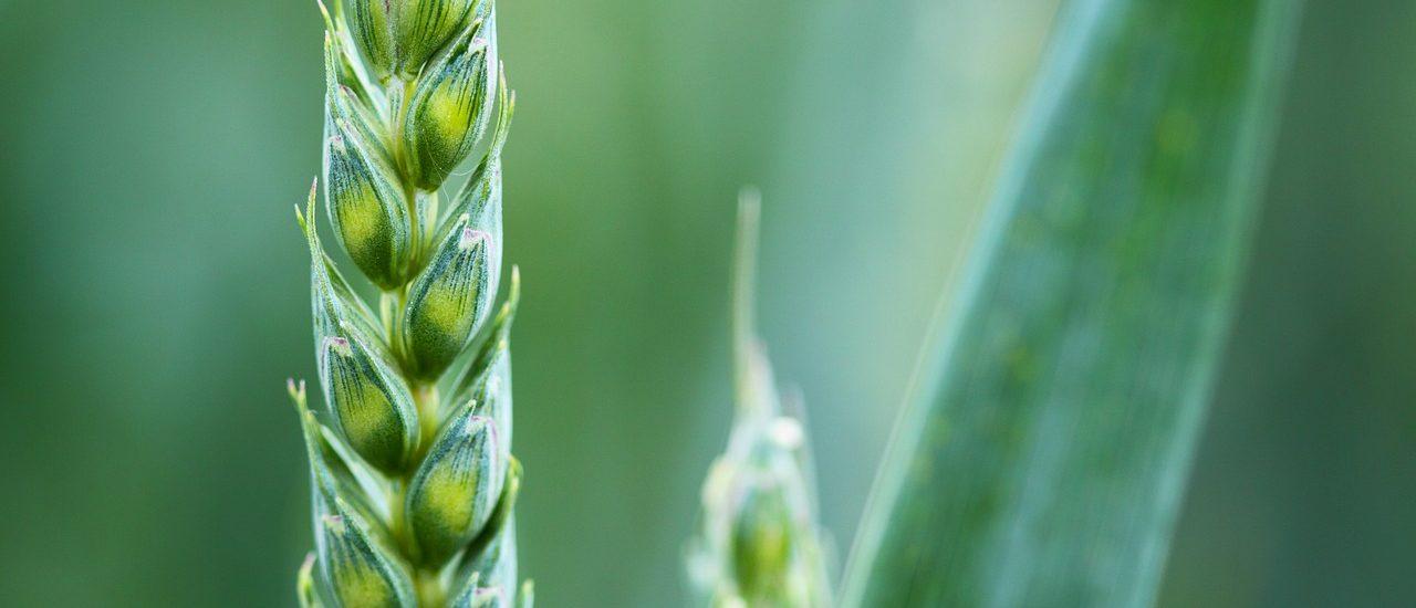 Gen-Weizen