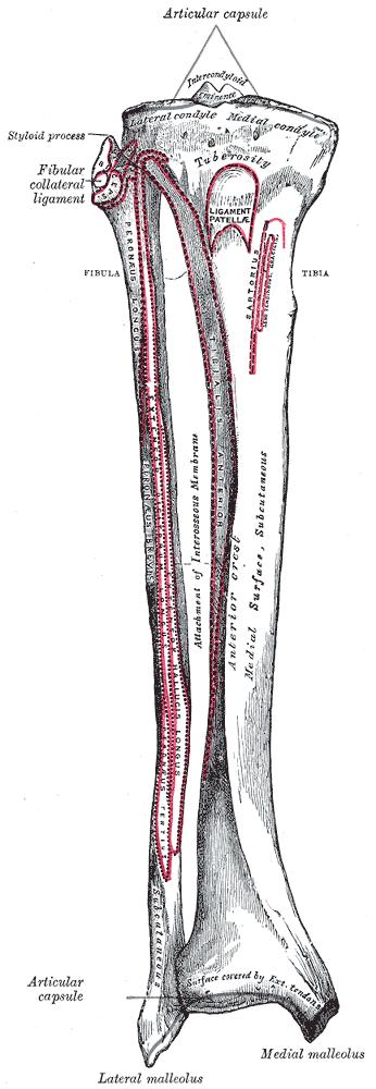 Schienbein